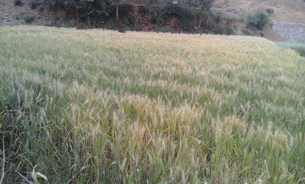 गहुँ खेती